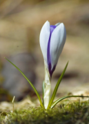 purple crocus