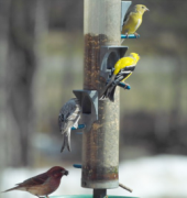 A pair of goldfinches and purple finches