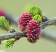 larch cone flowers