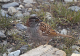 a female white-throated sparrow