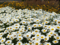 daisies and black-eyed susans