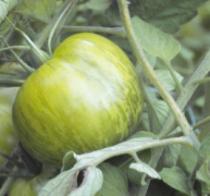 a tomato growing (Green Zebra)
