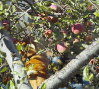 An apple-picking cat?