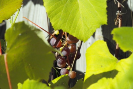 some grapes coming ripe