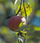 A ripe apple