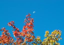 half moon with maple leaves