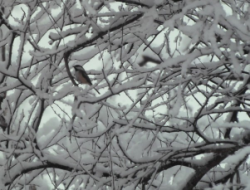 black-capped chickadee in snowy birch
