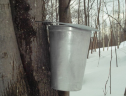 maple syrup on the way!